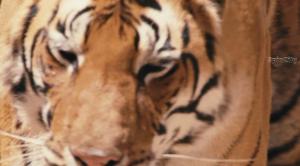 Спасти тигра